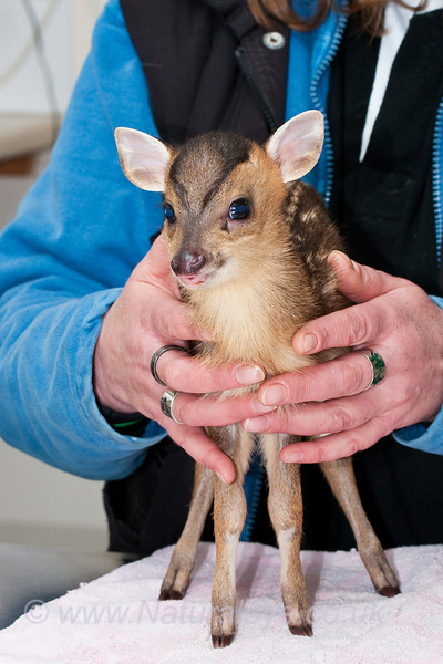 Reeves Muntjac Fawn