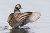 Long Tailed Duck - female wing flapping