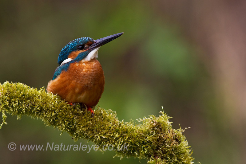 European Kingfisher on mossy branch