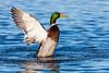 Drake Mallard flapping wings