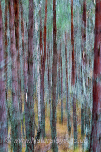 Pine Forest abstract
