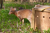 Muntjac release - 24th March 2012