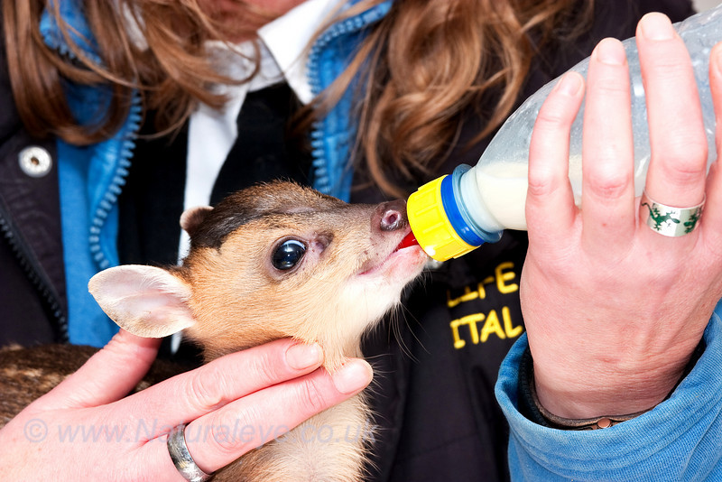 Reeves Muntjac Fawn being bottle fed