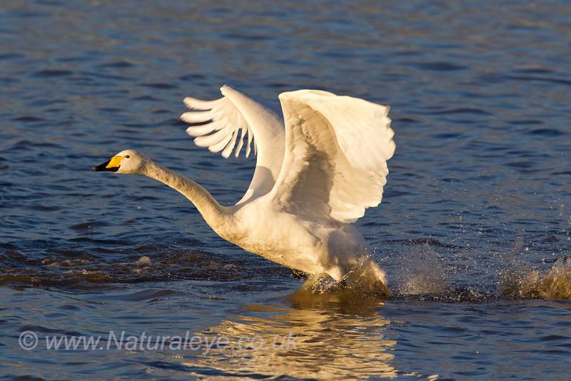 Whooper Swan taking off