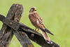 Kestrel - female