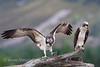 Male Osprey with fledgling