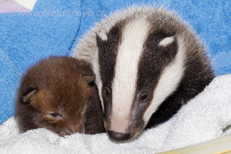 Fox cub and Badger cub