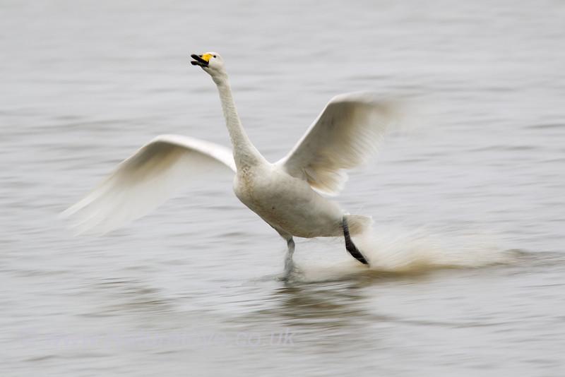 Whooper Swan motion blur