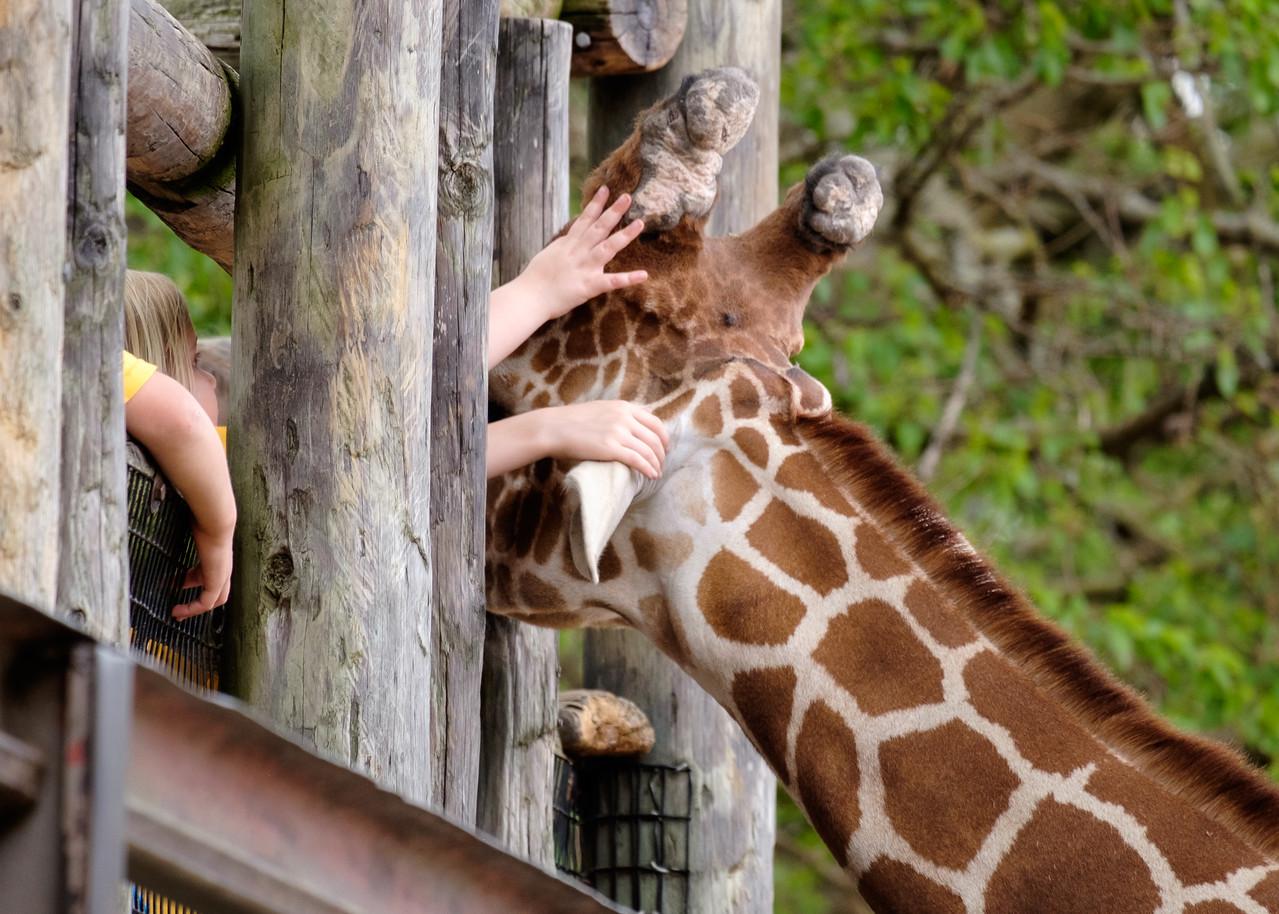 giraffe_tiny hands-3507