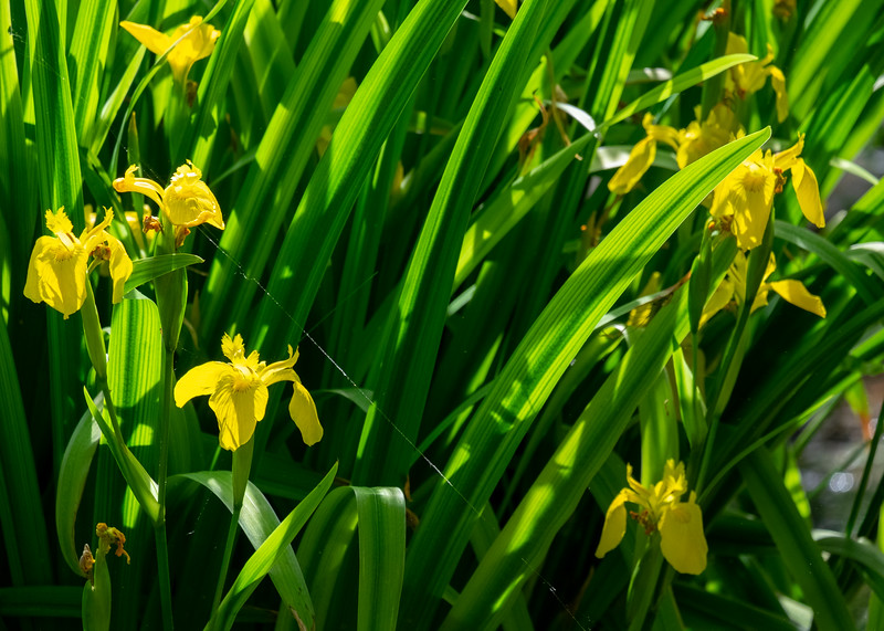 yellow_iris-3498