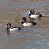 Ringed-necked ducks
