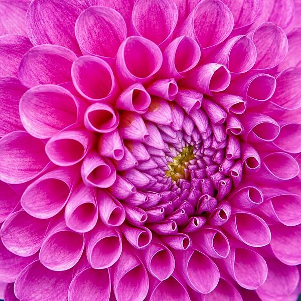Pink Dahlia Up Close