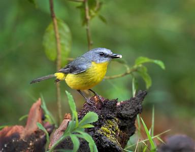 Eastern Yellow Robin - 8609