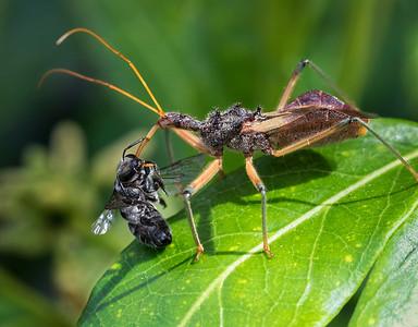 Assassin Bug with native bee - 5541