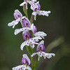 Round-leaved Orchid