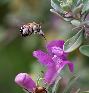 Blue-banded bee - 7013