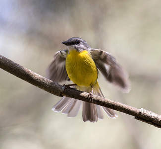 Eastern Yellow Robin - 5009