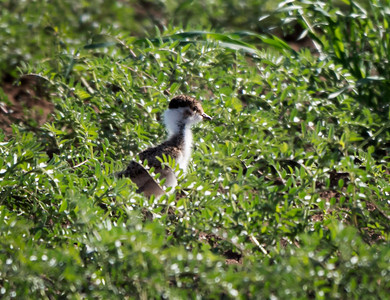 Banded Lapwing,chick - 4940