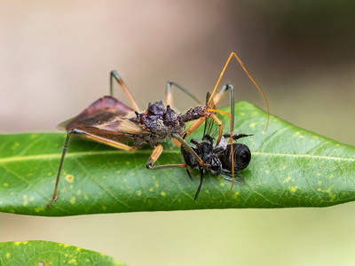 Assassin Bug with native bee - 5666