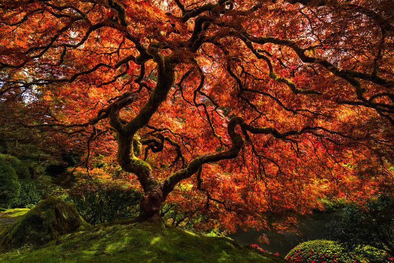 The Tranquil Maple