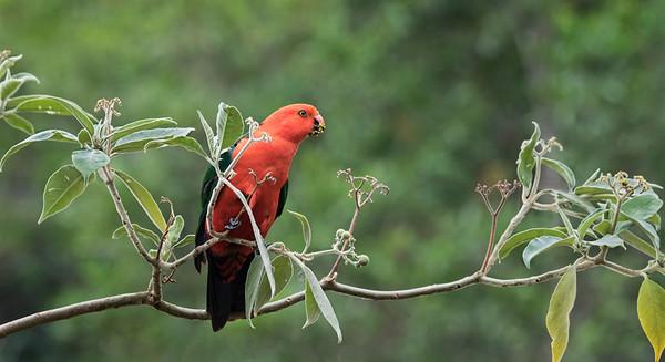 King Parrot - 2943