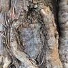 Trunck of olive tree