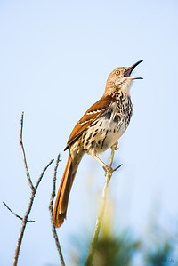 brown thrasher_4647