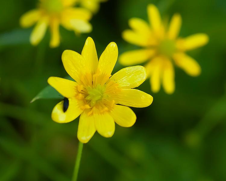 Common / California buttercup
