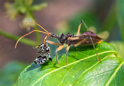 Assassin Bug with native bee - 5550