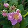 California wild rose