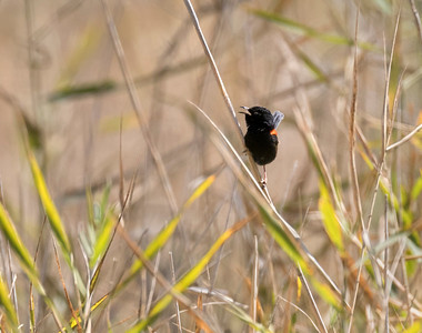 Red-backed fairy-wren _ 8788