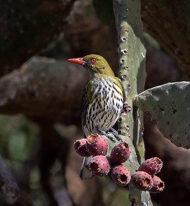 Olive-backed Oriole,male - 5426