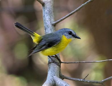 Eastern yellow Robin - 5069