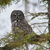 Great Grey Owl #7