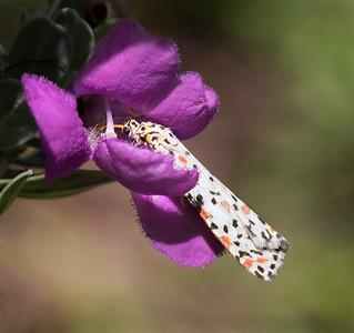 Heliotrope Moth - 9565