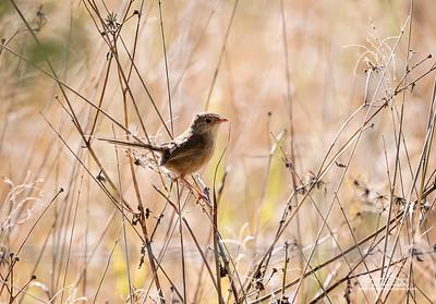 Red-backed Fairy-wren,female- 3566