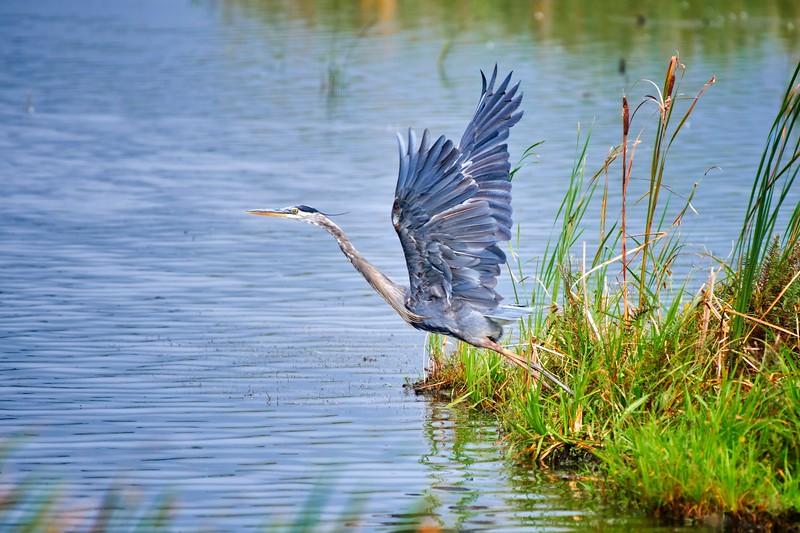 Great Blue Heron Launching