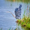 Great Blue Heron Launching