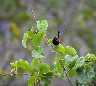 Red-backed Fairy-wren - 5541