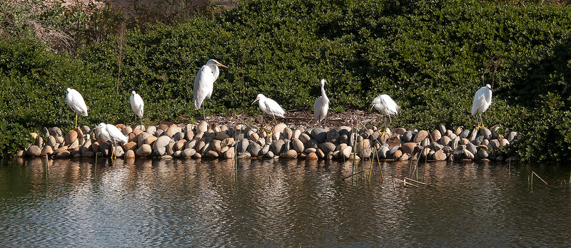 Great egret with a bunch  of Snowy egrets