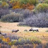 Elk in Rutting Season