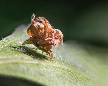 Lacewing larvae -1633
