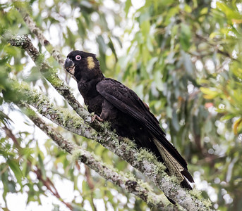 Yellow-tailed Balck Cockatoo - 8405