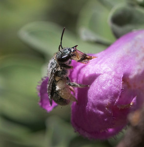 Native bee bubbling nectar - 0553