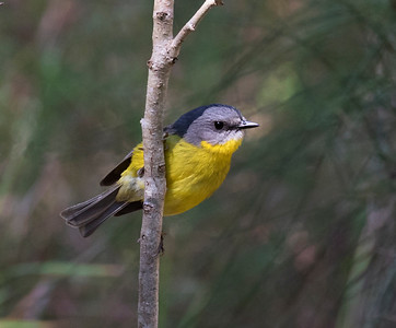 Eastern Yellow Robin - 0023