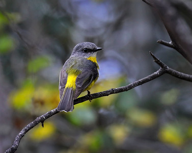 Eastern Yellow Robin - 5498