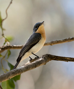 Leaden Flycatcher - 9183