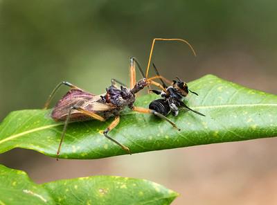 Assassin Bug with native bee - 5691