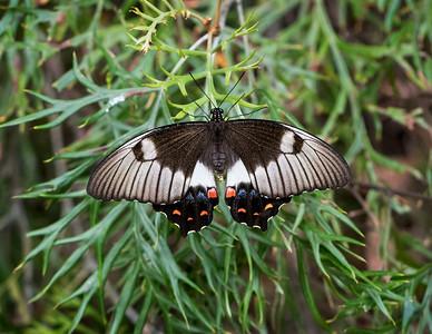 Orchard Swallowtail - 0833
