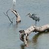 Great egret, Great blue heron, Mallard